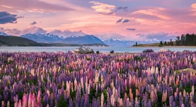 1-slide-new-zealand-south-island-lake-tekapo-lupines-sunset-pano