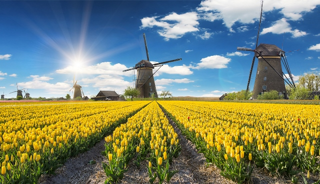 69012_fullimage_yellow_tulips_windmill